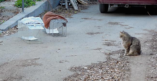 Feral cat warily studies traps.