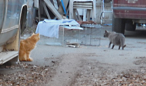 Feral cats check out cat traps.