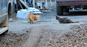 Feral cats check out traps.