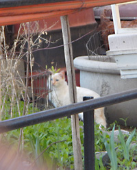One of the feral cats needing trapping.