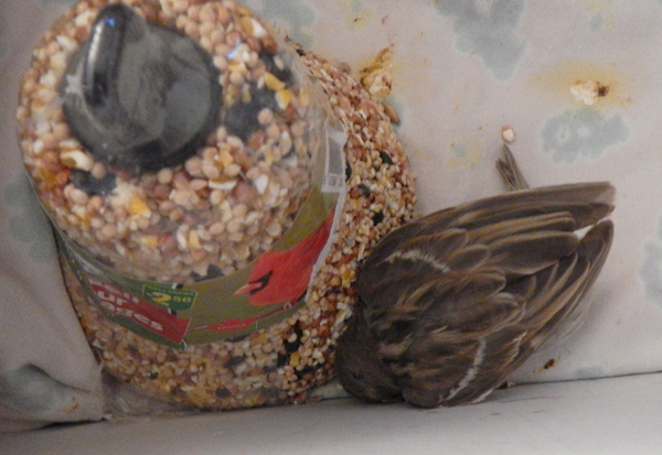 This injured sparrow found in the street brought back memories of a bird I took care of as a kid.